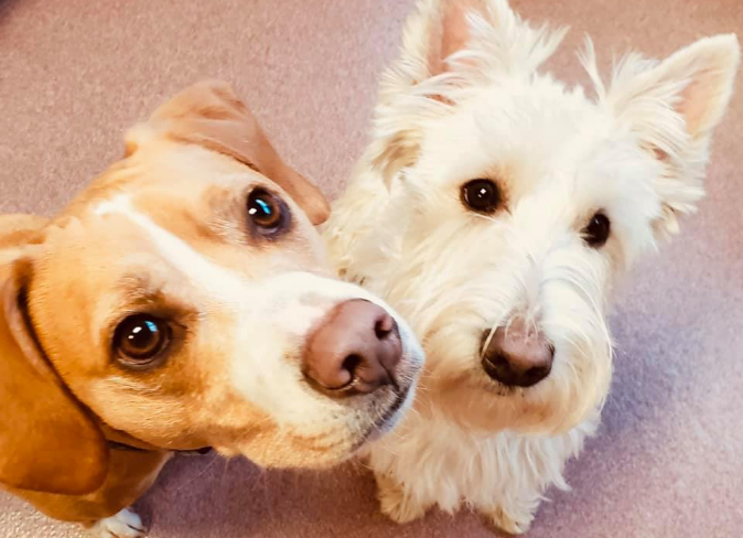 A Beagle and white terrier wait patiently to play at the Fisher's Friends Dog Daycare