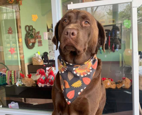 A brown labrador retriever waits patiently to finish a grooming session at the Fisher's Friends dog salon