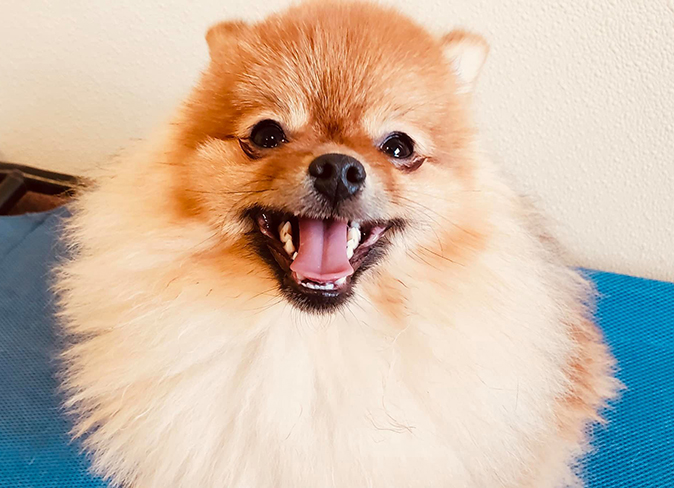 A Pomeranian smiles brightly at the camera, enjoying his time at Fisher's Friends Dog Daycare
