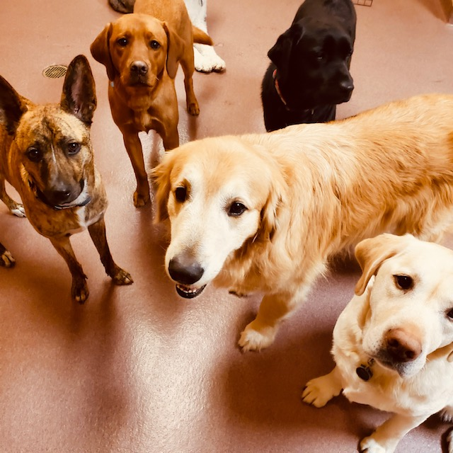 Dogs in Daycare, Fishers Friends, Labs, Apply Online